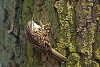 Wald-Baumläufer, Waldbaumläufer, Baumläufer, Certhia familiaris, Eurasian treecreeper, common treecreeper, treecreeper, Le Grimpereau des bois, Le Grimpereau familier