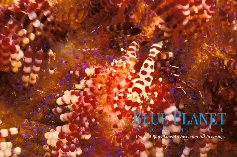 Coleman shrimp pair on fire urchin symbiosis