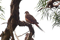 Brown Cuckoo-Dove, Springbrook NP, Queensland, Australia