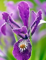 Wild Iris (Iris tenax) with lagy bug and dew. Near Alpine, Oregon