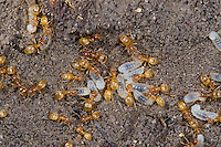 Gelbe Wiesenameise, Gelbe Wiesen-Ameise, Gelbe Wegameise, Bernsteingelbe Ameise, Larve, Larven, Puppe, Puppen, Nest, Ameisennest, Lasius flavus, Cautolasius flavus, Yellow Meadow Ant, formicary