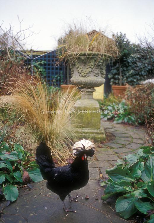 Heirloom White crested black Polish rooster in backyard garden free-range