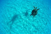 Turtle swimming in blue water<br /> shadow of turtle and snorkeler on the sandy bottom<br /> St. John, U.S. Virgin Islands