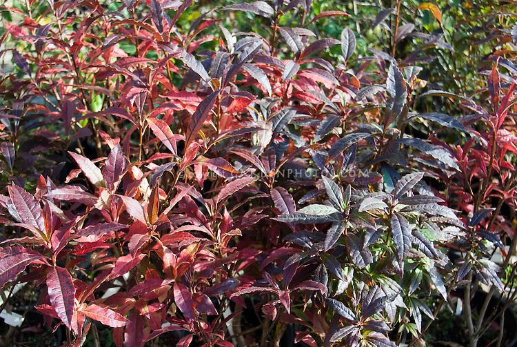 Leucothoe Scarletta aka Zeblid, colorful foliage in winter