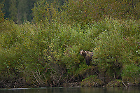 Grizzly Bear watching from the banks of the Mitchell River