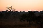 Grey Crowned Crane (Balearica regulorum) pair in miombo woodland at sunrise, Kafue National Park, Zambia