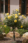 ROSA MIDAS TOUCH, HYBRID TEA ROSE, STANDARD TRAINED OR TREE ROSE
