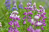 Lupine flowers in bloom in various shades of purple along a meadow on the island of Kodiak, Alaska.