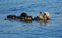 Sea otters at play in Monterey Bay.