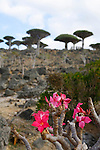 .Adenium socotranum and dragon blood tree on the Dilsam plateau  Socotra island. Yemen