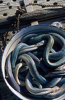 """Europe/France/Pays de la Loire/44/Loire-Atlantique/Grande Brière et Marais de Donges et du Brivet/Ile Fedrun : Les anguilles du marais de Guillaume Guérin de """"La Hutte Briéronne"""""""