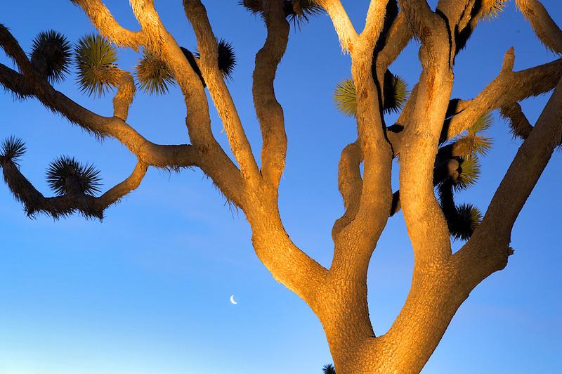 Joshua tree with moonin Joshua Tree National Park. California