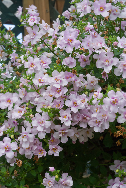 Bacopa 'Ballerina Pink' double flowered annual pink blooms