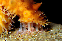 """California sea cucumber, Parastichopus californicus, """"vacuum"""" the kelp forest floor of small organisms and detritus . There is now a growing commercial fishery, California (c)"""