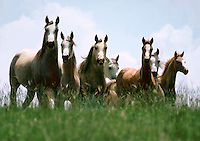 Arabian mares and foals.