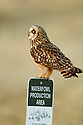 00851-001.09 Short-eared Owl (DIGITAL) searches for prey while perched on Waterfowl Production Area sign. Bird, birding, raptor.  V3L1