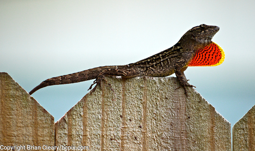 A Brown Anole displays its throat fan as it sits atop a fence in Holly Hil, FL.  (Photo by Brian Cleary/www.bcpix.com)