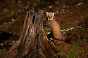 European Pine Marten (Martes martes) in pine forest at night. Highlands, Scotland. October. (baited)