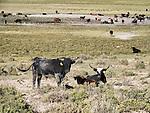 Grazing range cattle, Hot Springs Valley, Nev.