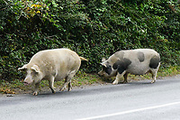 BNPS.co.uk (01202 558833)<br /> Pic: Graham Hunt/BNPS<br /> <br /> A pig walking along the verge next to the B3079 near Brook.<br /> <br /> Hundreds of pigs have been let loose in the ancient New Forest national park to gobble up fallen acorns which are poisonous to other animals.<br /> <br /> The quirky tradition involves swine roaming the Hampshire woodland to clear it of the fruit which can be fatal to the famous ponies and cattle.<br /> <br /> Commoners released their herds today marking the beginning of the annual event known locally as Pannage.<br /> <br /> They will spend 60 days rummaging around the 70,000 acre forest before being rounded up in November.