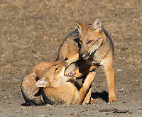 Culpeos are South America's second-largest canid, and look like a cross between a fox and a coyote.  Here, a couple of juvenile pups play.