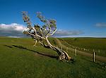 Farmland and windswept tree in the Waitangi-Tuku area of the Chatham Islands New Zealand.