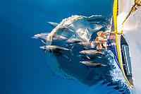 common bottlenose dolphin, Tursiops truncatus, bow-riding, Baja California, Mexico, Gulf of California, Sea of Cortez, Pacific Ocean
