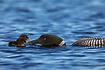 Common loon feeding chicks on Day Lake in northern Wisconsin.