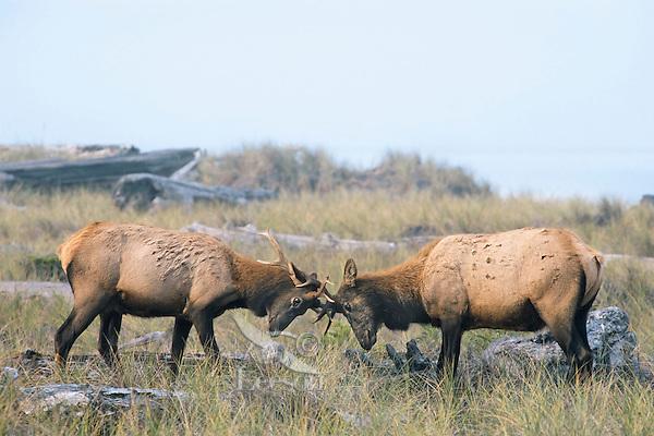 Two Roosevelt Elk bulls sparring (rutting behavior) along Gold Bluffs Beach, Prairie Creek Redwoods State Park, Northern California.  Sept.