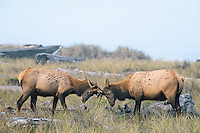 Two Roosevelt Elk bulls sparring (rutting behavior) along Gold Bluffs Beach, Prairie Creek Redwoods State Park, Northern California.  Sept.