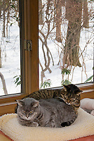 Nicki and Duffy cat animals sleeping on bed together in house in winter snow outdoors through window