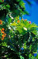 Breadfruit, ulu, tree with flowers, on Oahu