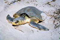 Kemp's ridley sea turtle, Lepidochelys kempii, on nesting beach, Rancho Nuevo, Mexico, Gulf of Mexico, Caribbean Sea, Atlantic Ocean
