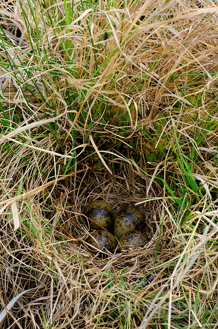 Nest and eggs of Wilson's Snipe (Gallinago delicata) concealed in grass. North Star Borough, Alaska. May.
