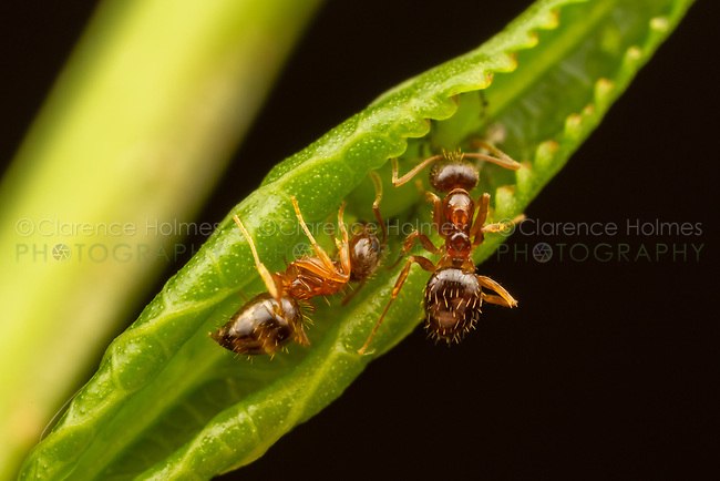 Two Crazy Ants (Nylanderia flavipes) tend Aphids in a curled leaf.