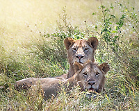Lions rest in the shade after an early morning kill.