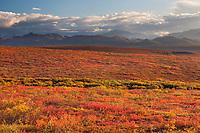 Crimson colored dwarf birch covers the autumn tundra in Denali National Park