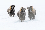 American Bison (Bison bison) running. Firehole River Valley. Yellowstone National Park, Wyoming, USA. January