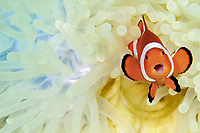 ocellaris clownfish, Amphiprion ocellaris, aka false percula clownfish or common clownfish, in bleached sea anemone in Dauin, Philippines, Pacific Ocean