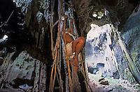 Asie/Malaisie/Env de Sandakan: Grottes de Gomantong - Récolte des nids d'hirondelle