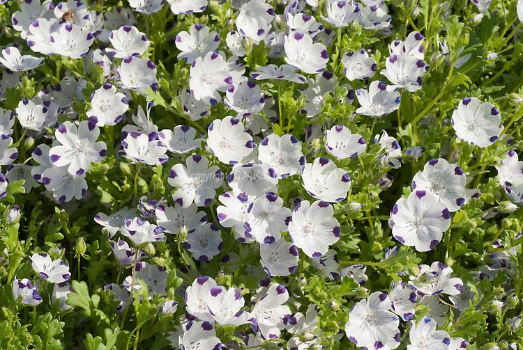 California endemic native wildflower Nemophila maculata in blue flowers