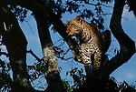 A leopard watches the movement of gazelles from the branches of a tree.
