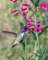 Male Costa's Hummingbird (Calypte costae) feeding on Parry's Penstemon wildflower.  Arizona.  Feb-March.