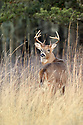 00274-305.20 White-tailed Deer Buck is in bluestem meadow during fall.  Hunt, hunting, antlers, rut.  V4A1
