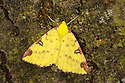 Brimstone moth (Opisthograptis luteolata) Oxfordshire, UK. July.