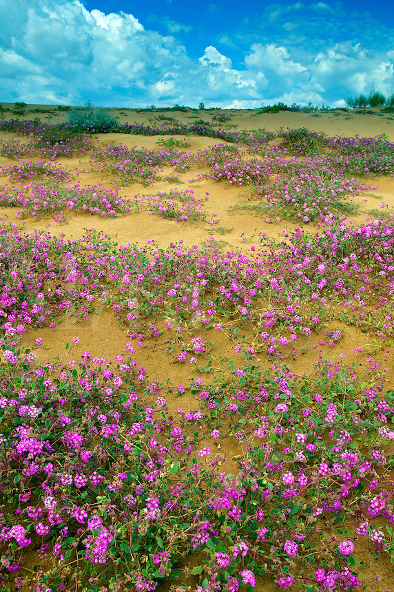 Sand Verbena (Abronia villosa) and Dune Evening Primrose (Oenothera deltoides) on sand dunes of the Imperial Sand Dunes Recreation Area, Southern California