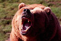 Kodiak Bear aka Alaskan Grizzly Bear and Alaska Brown Bear (Ursus arctos middendorffi) roaring - North American Wild Animals
