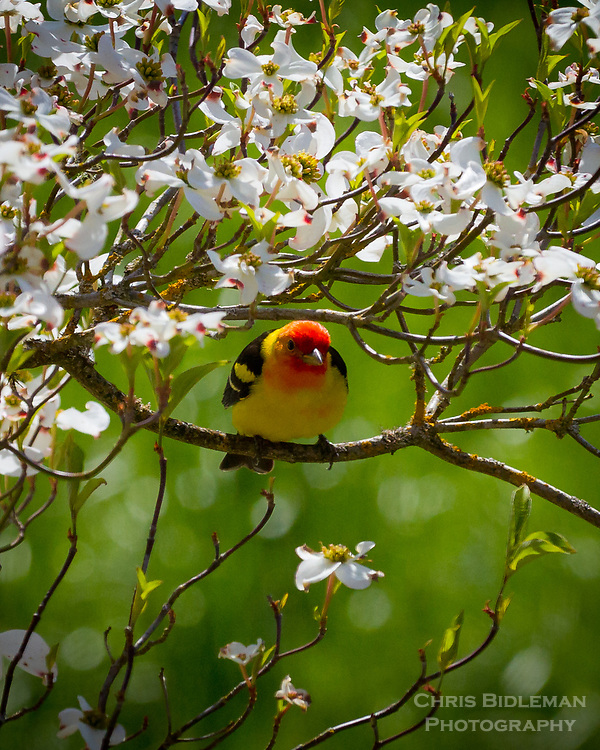 A male Western Tanager (Piranga ludoviciana) is sitting on a branch of a flower white dogwood tree in Spring with a nice bokeh effect in the background.
