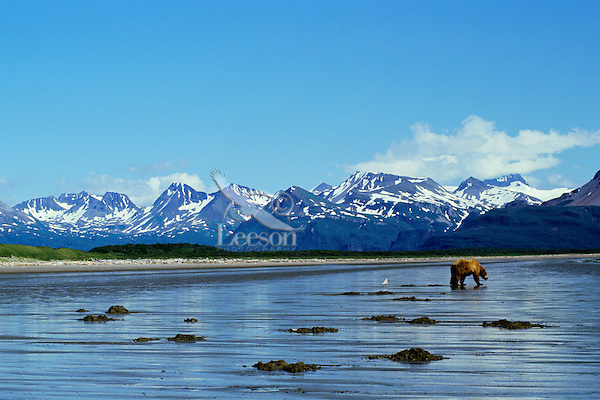 Ma918  Alaskan Brown Bear (Ursus arctos) digging razor clams on Alaskan beach.