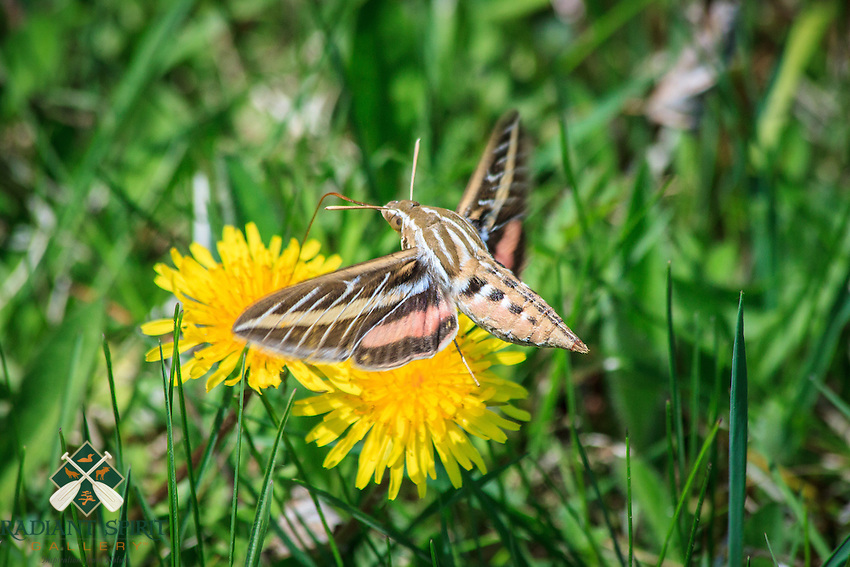 """White-lined Sphinx Moth""<br />